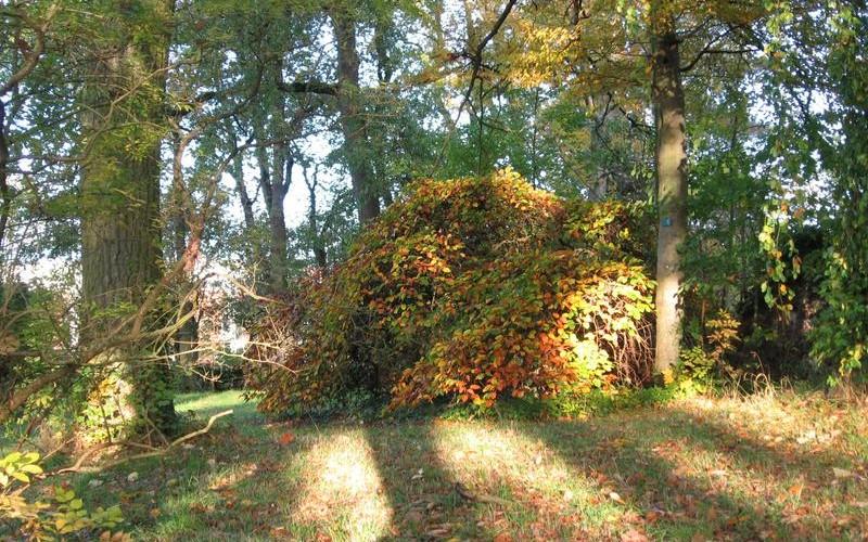 Arbre de fer : photo de l'arboretum