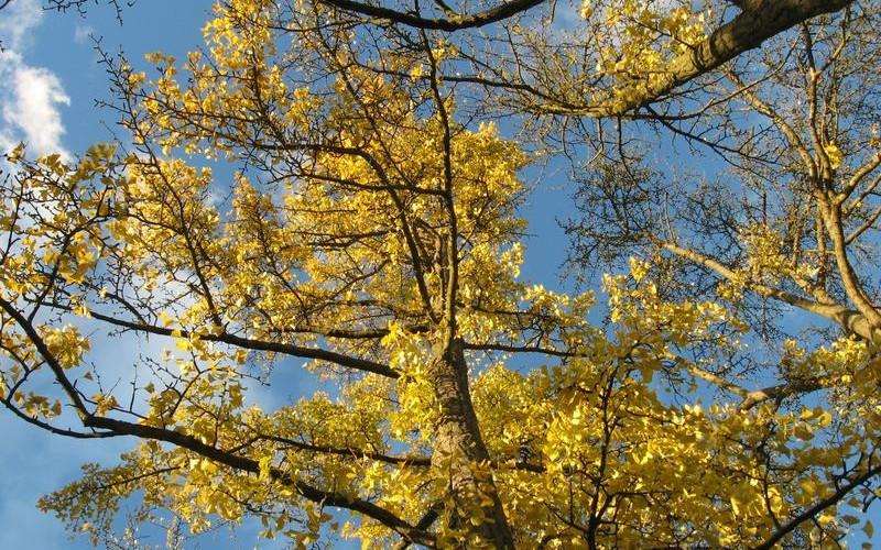 Arbre de fer : Ginkgo biloba dans l'arboretum