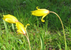 Tulipes sauvages (Tulipa sylvestris)