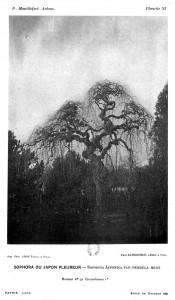 (Arbre aux pagodes dans l'abroretum de Grignon en 1891)