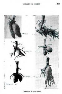 (Tubercules de divers orchis)
