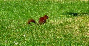 (Ecureuil roux)