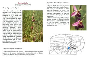 (Description de Ophrys apifera)