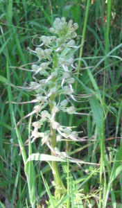 (Orchis bouc dans l'arboretum en juin 2015)