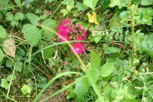 (Fleur dans le jardin écologique en 2014)